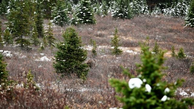 アイスフィールズパークウェイで雪が降る秋の荒野で採掘する単一の茶色のグリズリーベア - 食糧を捜す点の映像素材/bロール