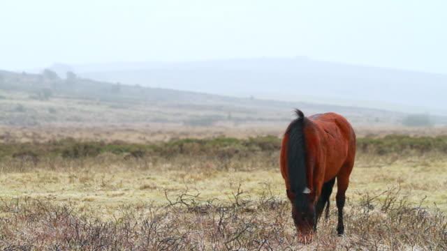 stockvideo's en b-roll-footage met ms single brown pony eating grass at mountain with foggy skies / dartmoor, england, united kingdom - wiese