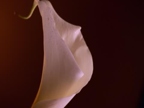 single calla lily - オランダカイウユリ点の映像素材/bロール