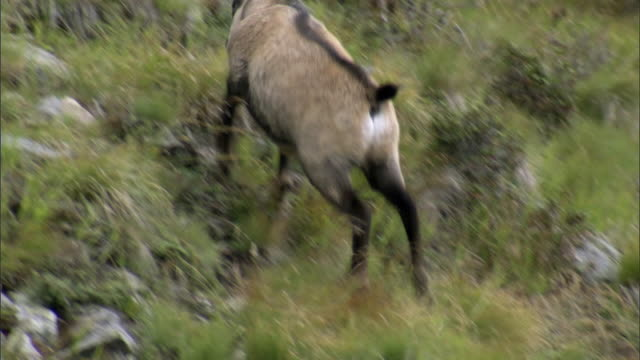 ms ts single chamois grazing on alpine mountainside in stelvio national park / peio, trento, italy - erbivoro video stock e b–roll