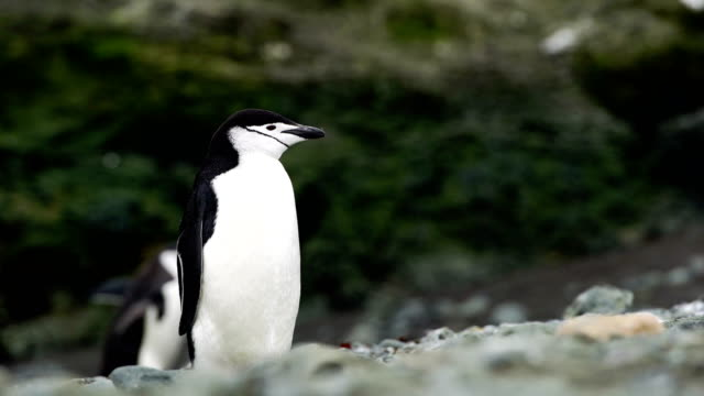 single chinstrap penguin stands against a beautiful blue water and iceberg - penguin stock videos & royalty-free footage