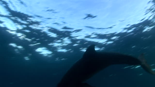 ms ts single dolphin swimming through sunrays to srface of water  audio / florida, united states - dolphin stock videos & royalty-free footage