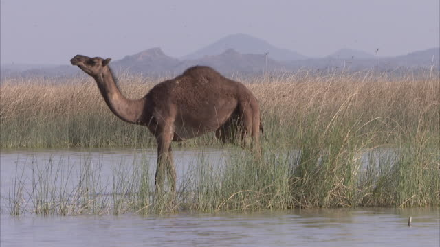 a single dromedary camel cooling down in a waterhole whilst looking at its surroundings - camel stock videos & royalty-free footage