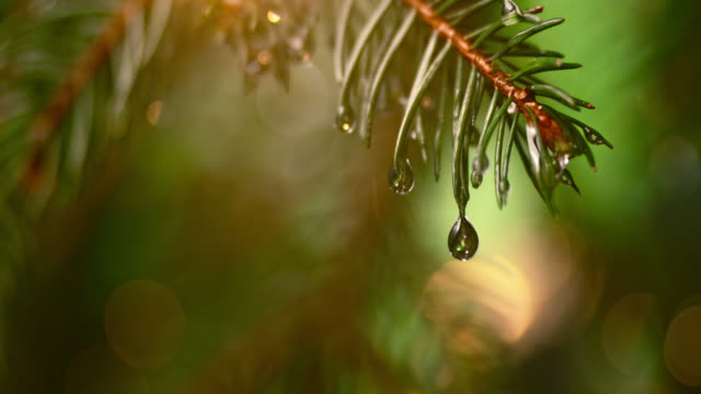 slo mo ld single droplet falling off a fir leaf - evergreen tree stock videos & royalty-free footage