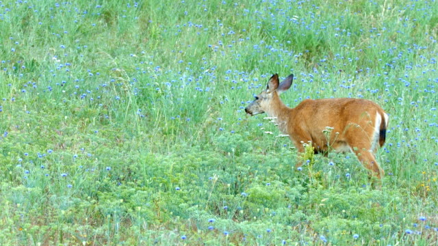 single eating north american blacktail mule deer doe grazing in wildflower meadow in the columbia river gorge near rowena crest - animal's crest stock videos and b-roll footage