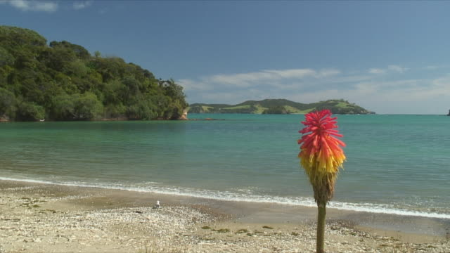 vidéos et rushes de ws single exotic flower on beach, bay of islands, new zealand - bay of islands nouvelle zélande