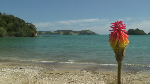 ws single exotic flower on beach, bay of islands, new zealand - bay of islands new zealand stock videos & royalty-free footage