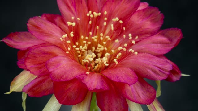single flower timelapse - lobivia hot pink - hot pink stock videos and b-roll footage
