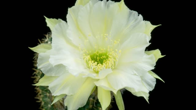 single flower timelapse - lobivia white color - flowering cactus stock videos & royalty-free footage