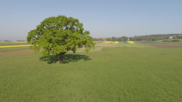 ws single green tree in sunny rural field,prekmurje,slovenia - single tree stock videos & royalty-free footage