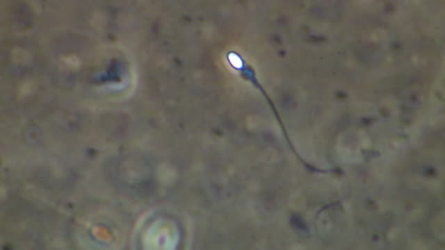 single human sperm swimming, phase contrast - sperm stock videos & royalty-free footage