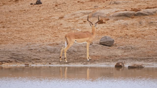 vídeos de stock e filmes b-roll de single impala alongside waterfront - parte do corpo animal