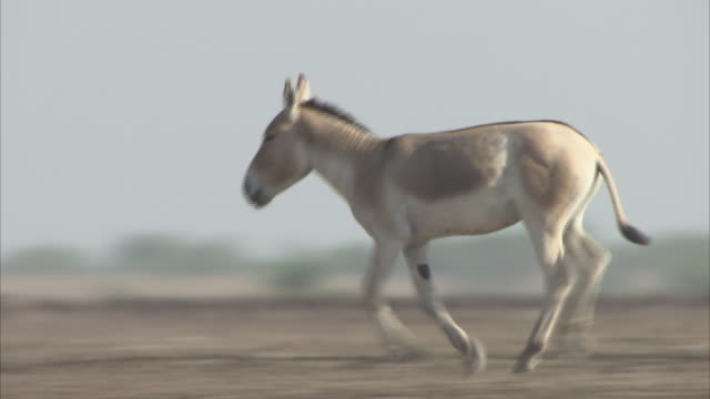 A single Indian Wild Ass running along the dusty desert ground