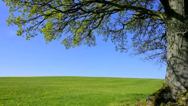 single large oak tree on meadow in spring - single tree stock videos & royalty-free footage