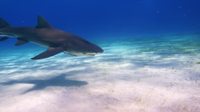 Single Lemon shark swims into frame and out. Bahamas