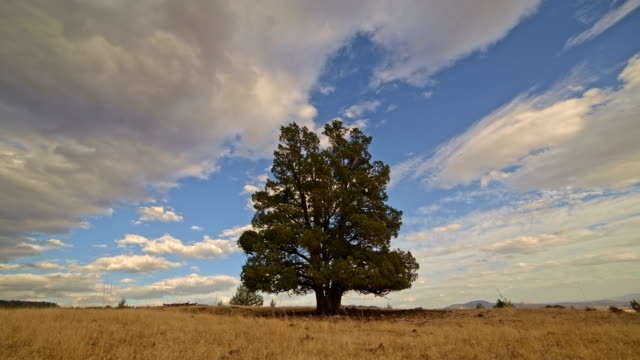 Single lone old growth western juniper tree in field on ranch under clouds