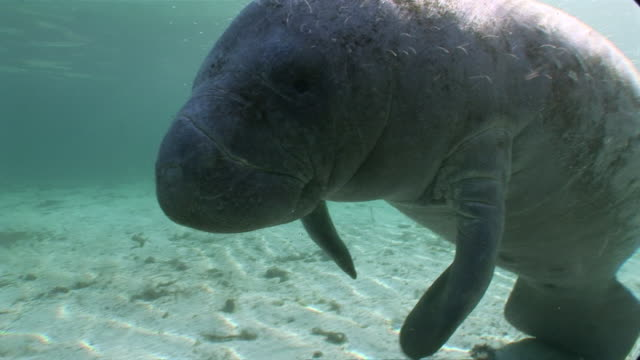 MS TU Single manatee swiming in sea water  AUDIO / Crystal River, Florida, United States