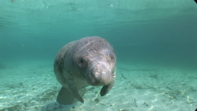 ms single manatee swimming towards  audio / crystal river, florida, united states - rundschwanzseekuh stock-videos und b-roll-filmmaterial