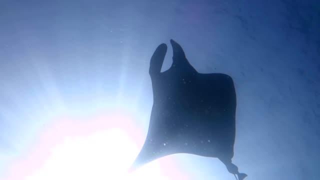 single manta ray simmar över viewer eclipsing sun i andamansjön - andamansjön bildbanksvideor och videomaterial från bakom kulisserna