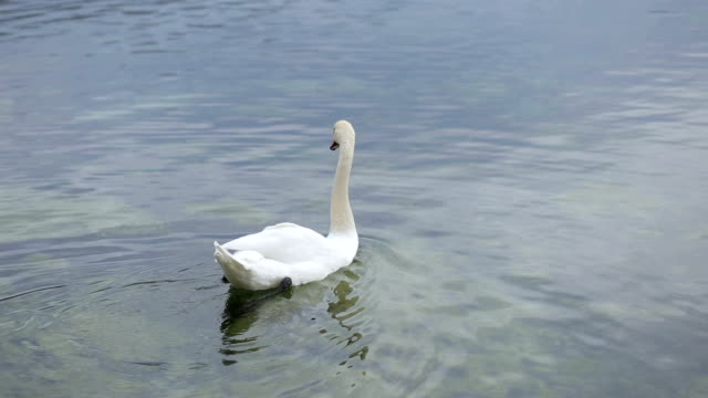 single mute swan swimming on water - mute swan stock videos & royalty-free footage