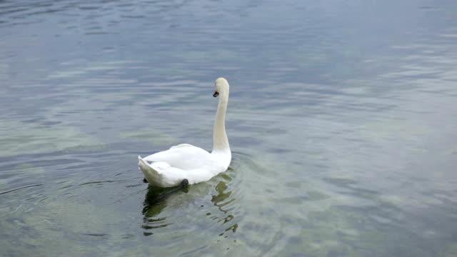 vídeos y material grabado en eventos de stock de cisne mudo solo nadando sobre el agua - cisne blanco común