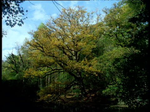 a single oak tree seen through all four seasons ending in spring, england - oak tree stock videos & royalty-free footage