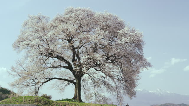 single old cherry tree at wanizuka - single tree stock videos & royalty-free footage