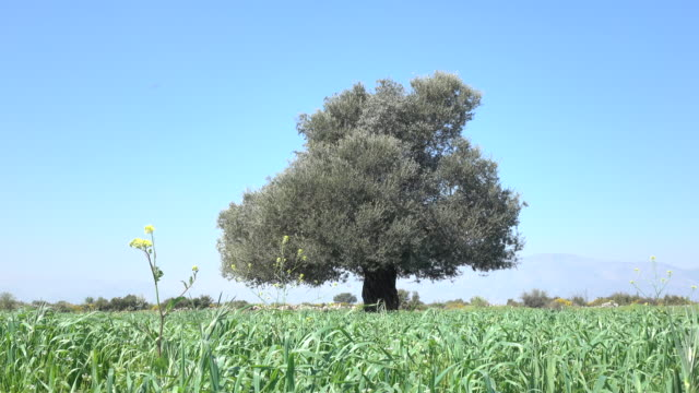 stockvideo's en b-roll-footage met enkele olijf boom met groene bladeren in veld op sky - selimaksan