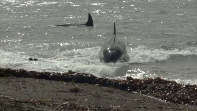 ms pan single orca chases two seals in water near beach under sun-dappled sky / puerto madryn, chubut, argentina - seal pup stock videos & royalty-free footage
