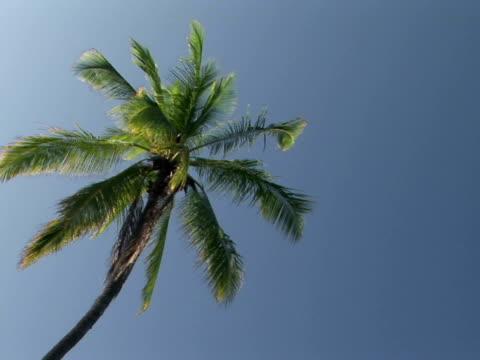 la single palm tree against blue sky, pu'uhonua o honaunau national historical park, place of refuge, the big island, hawaii, usa - fan palm tree stock videos & royalty-free footage