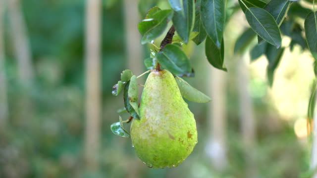 single pear on the tree - pear stock videos & royalty-free footage