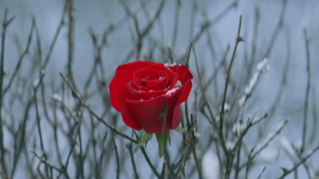 single red rose on bush, snow - single rose stock videos & royalty-free footage
