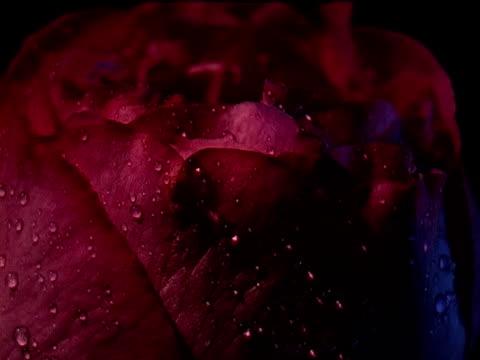single red rose - single rose stock videos & royalty-free footage