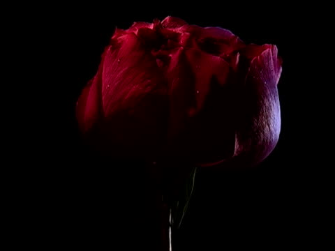 stockvideo's en b-roll-footage met single red rose - cadeau