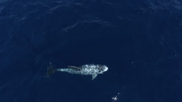 Single Risso dolphin swims in perfectly blue, clear ocean, aerial view
