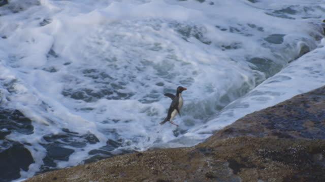 ha single rockhopper penguin jumps out of wave onto rocks and hops away - flightless bird stock videos & royalty-free footage
