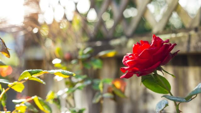single rose timelapse - single rose stock videos & royalty-free footage