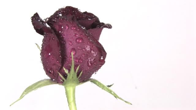 single rose - single rose stock videos & royalty-free footage