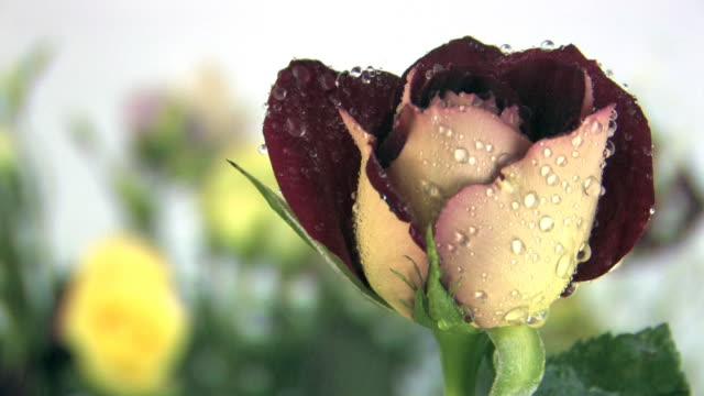 single rose. - single rose stock videos & royalty-free footage