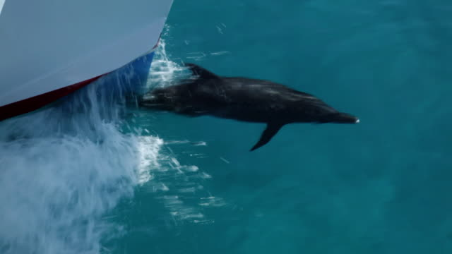 ms ts single spotted dolphin swimming surface in ocean / at sea, at sea, bahamas - spotted dolphin stock videos and b-roll footage