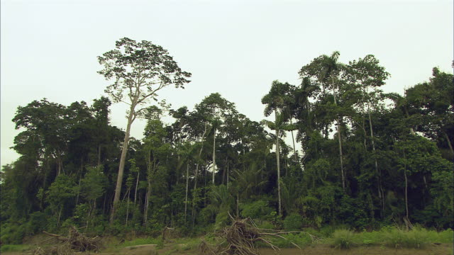 WS Single tree being cut and falling in jungle / Cuzco Region, Peru