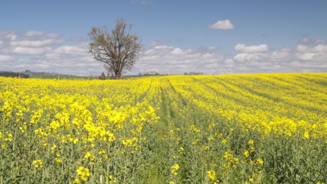 Single tree in a rapeseed field in the Tarn area of France.