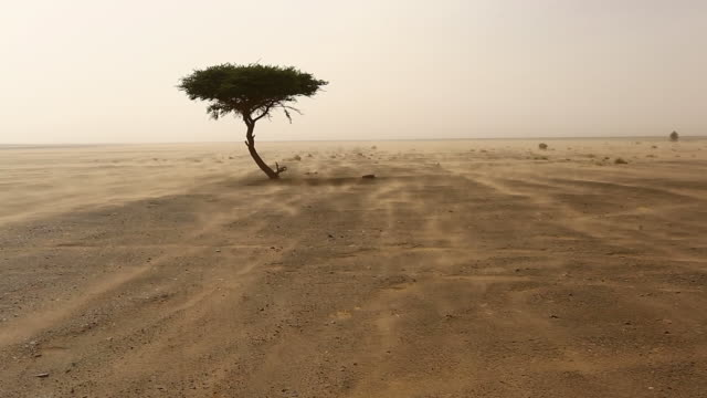 single tree in a sands storm in desert sahara, morocco - single tree stock videos & royalty-free footage
