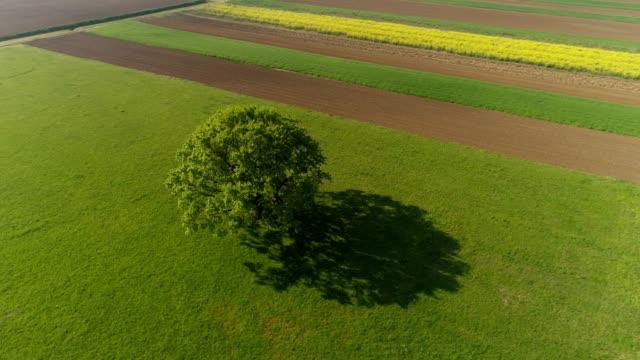 vidéos et rushes de arbre de ws single en champ vert ensoleillé, rural, prekmurje, slovénie - inclinaison vers le bas