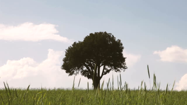 single tree - oak tree stock videos & royalty-free footage