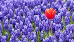 Single tulip on a purple flower field.