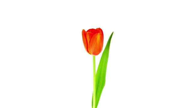 Eine Tulpe;  Zeitraffer