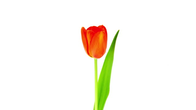 single tulip; time lapse - cut out stock videos & royalty-free footage