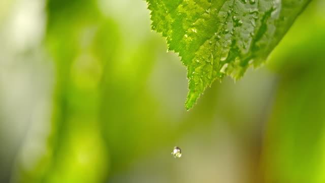 葉から落ちる SLO MO LD 単一水滴