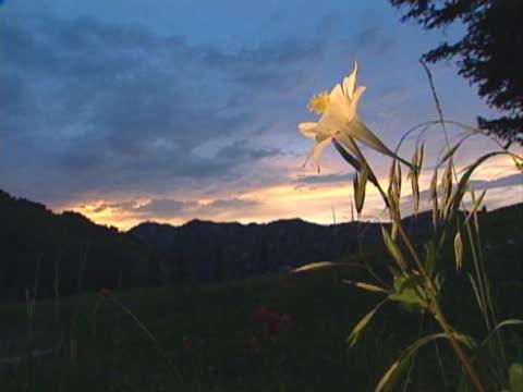 a single white flower rises against black mountains and deep blue skies at dusk. - ロマンチックな空点の映像素材/bロール